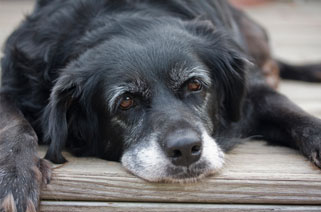 Senior Pet Care in Vancouver WA - Veterinary Services - picture of senior dog